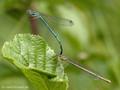 Blaue Federlibelle (Platycnemis pennipes), Tandem kurz vor oder nach der Paarung - DE (SH)