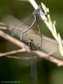 Blaue Federlibelle (Platycnemis pennipes), Paarungsrad - DE (SH)