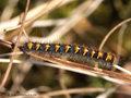 Eichenspinner (Lasiocampa quercus), jüngeres Raupenstadium - SE (Hallands län)