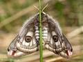 Kleines Nachtpfauenauge (Saturnia pavonia), Weibchen (Unterseite) - DE (HH)