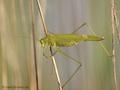 Gemeine Sichelschrecke (Phaneroptera falcata), Männchen - DE (NI)