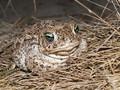 Kreuzkröte (Bufo calamita) - DE (HH)