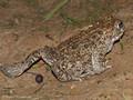 Kreuzkröte (Bufo calamita) - DE (SH)
