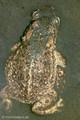 Kreuzkröte (Bufo calamita), Paar beim Ablaichen - DE (SH)