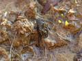 Kreuzkröte (Bufo calamita), Jungtier kurz nach Abschluss der Metamorphose - DE (SH) August 2012
