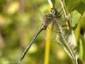 Glänzende Smaragdlibelle (Somatochlora metallica), Männchen - DE (HH)