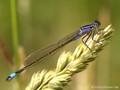 Große Pechlibelle (Ischnura elegans), Weibchen - DE (MV)