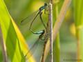 Große Pechlibelle (Ischnura elegans), Paarungsrad - DE (SH)