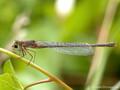 Große Pechlibelle (Ischnura elegans), Weibchen mit Beute - DE (SH)