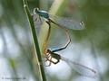 Große Pechlibelle (Ischnura elegans), Paarungsrad - DE (HH)
