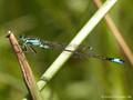 Große Pechlibelle (Ischnura elegans), Männchen - DE (HH)
