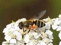 Garten-Keilfleckschwebfliege (Eristalis horticola), Weibchen - CH (Obwalden)