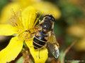 Garten-Keilfleckschwebfliege (Eristalis horticola), Weibchen - DE (SH)