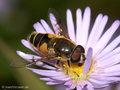 Garten-Keilfleckschwebfliege (Eristalis horticola), Männchen - DE (HH)
