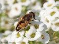 Kleine Keilfleckschwebfliege (Eristalis arbustorum), Männchen - DE (HH)