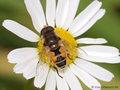 Kleine Keilfleckschwebfliege (Eristalis arbustorum), Männchen - DE (SH)