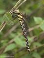 Blaugrüne Mosaikjungfer (Aeshna cyanea), junges Weibchen - DE (MV)
