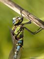 Blaugrüne Mosaikjungfer (Aeshna cyanea), Männchen - DE (HH)