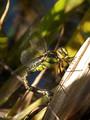 Blaugrüne Mosaikjungfer (Aeshna cyanea), Weibchen bei der Eiablage - DE (HH)