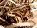 Moorfrosch (Rana arvalis) - DE (HH)