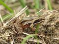 Moorfrosch (Rana arvalis), Jungtier - DE (SH)