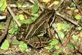 Moorfrosch (Rana arvalis) - DE (SH)