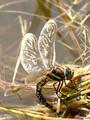 Torf-Mosaikjungfer (Aeshna juncea), Weibchen bei der Eiablage - DE (HH)