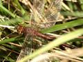 Braune Mosaikjungfer (Aeshna grandis), Weibchen - DE (MV)