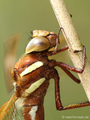 Braune Mosaikjungfer (Aeshna grandis), Weibchen - DE (SH)