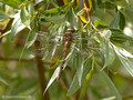 Keilfleck-Mosaikjungfer (Aeshna isosceles), junges Weibchen - DE (MV)