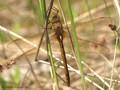 Keilfleck-Mosaikjungfer (Aeshna isosceles), Weibchen - DE (MV)