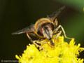 Gemeine Keilfleckschwebfliege (Eristalis pertinax), Weibchen - DE (HH)