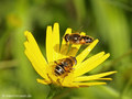 Mittlere Keilfleckschwebfliege (Eristalis nemorum), Weibchen mit anfliegendem Männchen  - DE (HH)