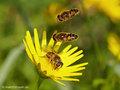 Mittlere Keilfleckschwebfliege (Eristalis nemorum), Weibchen mit zwei anfliegenden Männchen  - DE (HH)