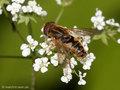 Teichrandschwebfliege (Parhelophilus spec.) - DE (ST)