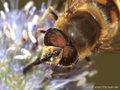 Scheinbienen-Keilfleckschwebfliege, Mistbiene (Eristalis tenax), Männchen - DE (HH)