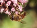 Scheinbienen-Keilfleckschwebfliege, Mistbiene (Eristalis tenax), Weibchen - DE (HH)