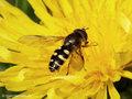 Gemeine Waldschwebfliege (Dasysyrphus venustus), Männchen - DE (HH)