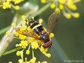Breitband-Waldschwebfliege (Dasysyrphus tricinctus), Männchen - DE (HH)