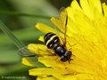 Breitband-Waldschwebfliege (Dasysyrphus tricinctus), Weibchen - DE (HH)