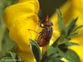 Gemeine Schnauzenschwebfliege, Feld-Schnabelschwebfliege  (Rhingia campestris), Weibchen - DE (NI)
