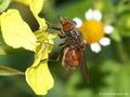Gemeine Schnauzenschwebfliege, Feld-Schnabelschwebfliege  (Rhingia campestris), Weibchen - DE (SH)