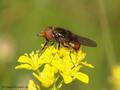 Gemeine Schnauzenschwebfliege, Feld-Schnabelschwebfliege  (Rhingia campestris), Männchen - DE (NI)
