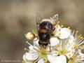 Hummel- Keilfleckschwebfliege (Eristalis intricaria), Weibchen - DE (NI)