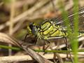 Westliche Keiljungfer (Gomphus pulchellus), junges Männchen - DE (SH)