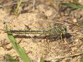 Westliche Keiljungfer (Gomphus pulchellus), Weibchen mit Beute - DE (SH)