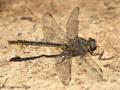 Westliche Keiljungfer (Gomphus pulchellus), Männchen - DE (SH)