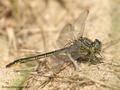 Westliche Keiljungfer (Gomphus pulchellus), Männchen mit erbeuteter Pechlibelle (Ischnura elegans) - DE (SH)