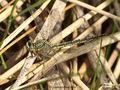 Westliche Keiljungfer (Gomphus pulchellus), Weibchen - DE (SH)