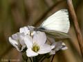 Grünader-Weißling (Pieris napi), Männchen - DE (HH)